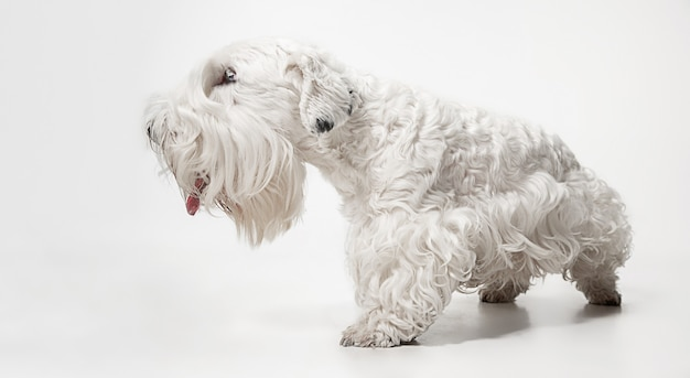 ふわふわの毛皮で手入れされたテリアの子犬