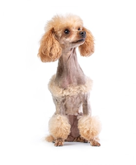 Groomed toy poodle posing