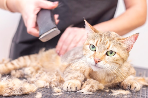 Groomer cut cat hair in the salon. pet care at a pet store uses a trimmer to cut cat hair.