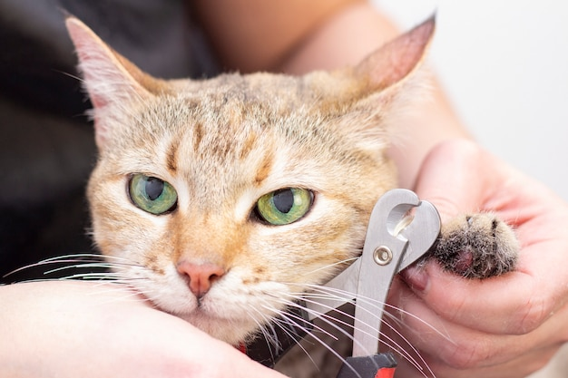Groomer cuts cats claws. salon for animals. beautiful cat in a beauty salon. animal grooming