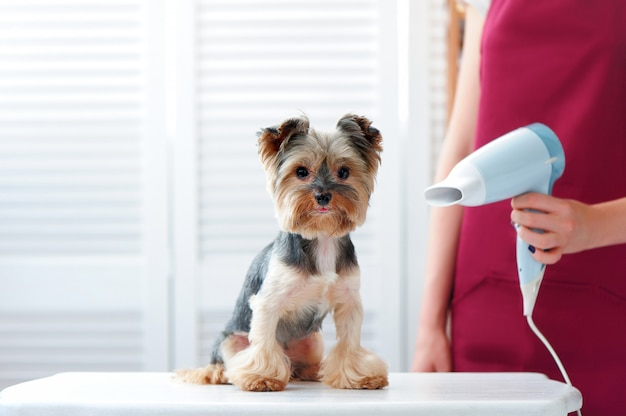 Groomer drying yorkshire terrier fur after bath
