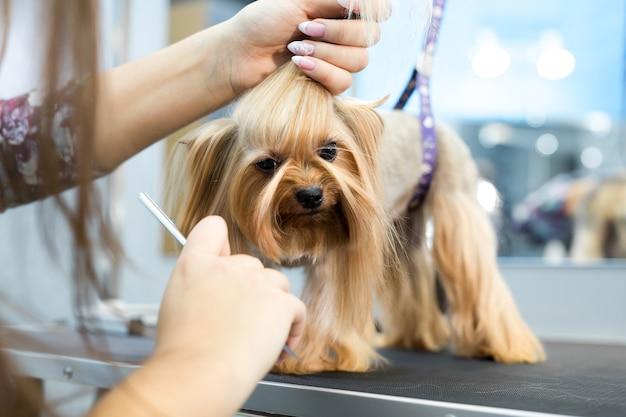 Грумер надевает бант на голову собаки
