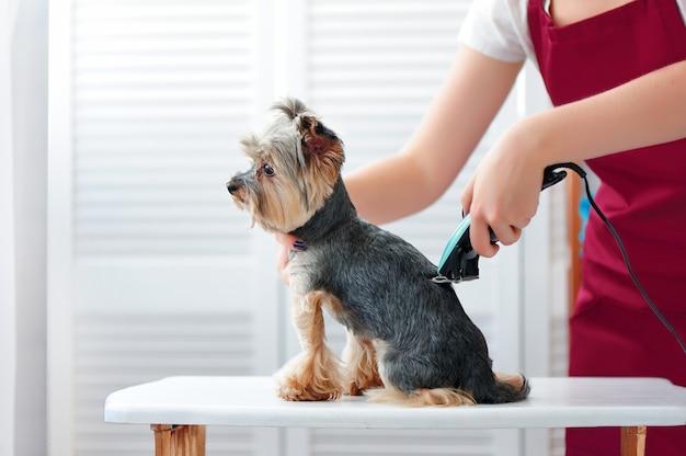 Groomer shaving yorkshire terrier back