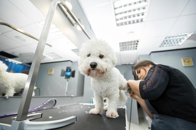 전기 이발기로 작은 강아지 비숑 프리즈를 손질하는 그 루머. 개 미용사 개 비촌 프리스에서 머리를 자르세요. 동물 미용사