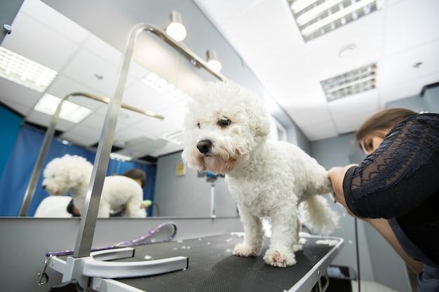 Грумер обрезает маленькую собачку бишон фризе с помощью машинки для стрижки волос