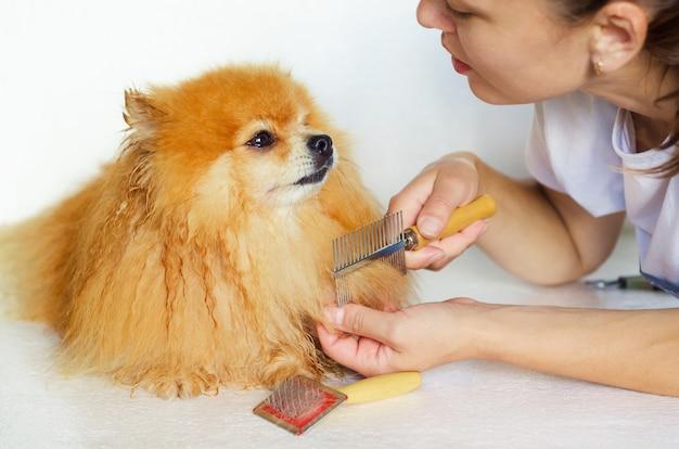 濡れた犬の毛づくろい。スピッツの髪をとかして乾燥させるマスタートリマー。ペット向け美容院。ポメラニアンの世話をする所有者。動物の衛生とヘルスケア。
