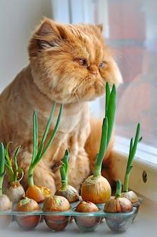 Ухаживает смешной рыжий персидский кот с зеленым луком и смотрит в окно