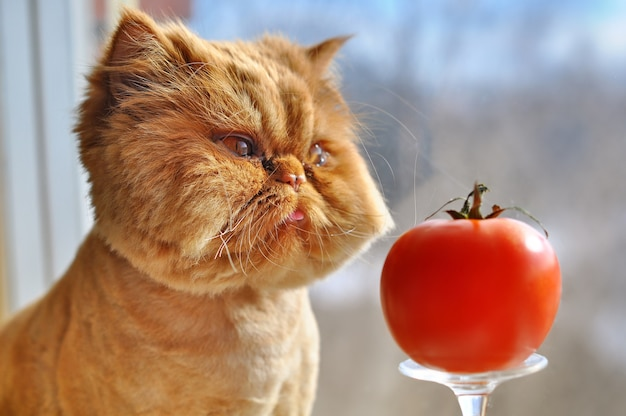 Grooming funny red persian cat with red tomato is sitting on a windowsill and looking out the window