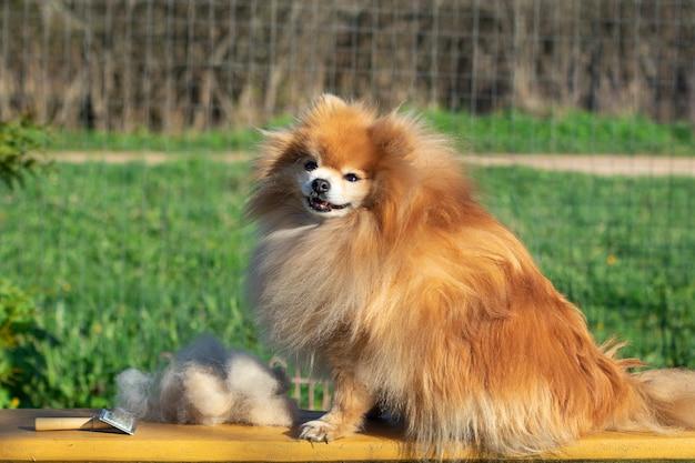 Стрижка, стрижка, расчесывание шерсти красивой счастливой шпиц. пушистый щенок, уход за шерстью животных, процедура стрижки. ветеринарная парикмахерская, груминг салон на свежем воздухе