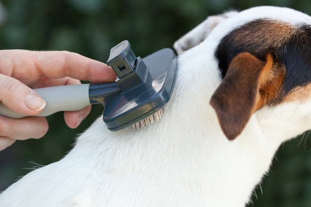 Grooming a jack russel with brush