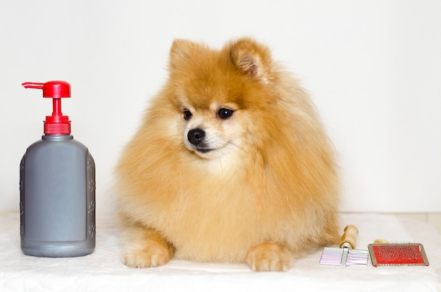 Grooming pomeranian. shampoo, conditioner, comb for a dog. pet care. washing long-haired thoroughbred german spitz.