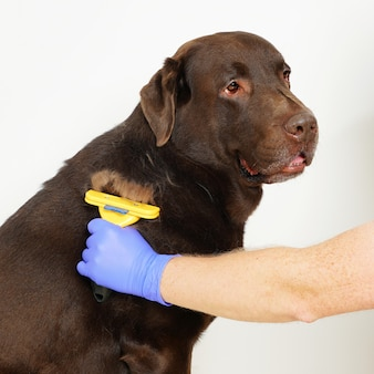 Grooming undercoat dogs. labrador retriever and veterinarian in blue gloves.