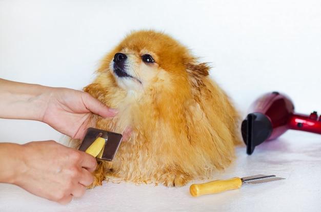 濡れた犬の毛づくろい。ポメラニアンのグルーマーコーミングをマスター。ペット向け美容院。自宅でスピッツの世話をする所有者。動物のための専門の衛生学およびヘルスケア。コピースペース