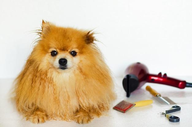 ぬれたポメラニアン犬の毛づくろい。ペット向け美容院。自宅でスピッツの世話をする所有者。動物のための専門の衛生学およびヘルスケア。コピースペース、テキストのための場所