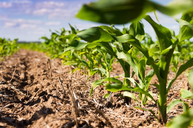 Groove of plowed land with planted corn
