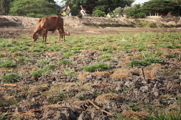 Ground of dry and cow.