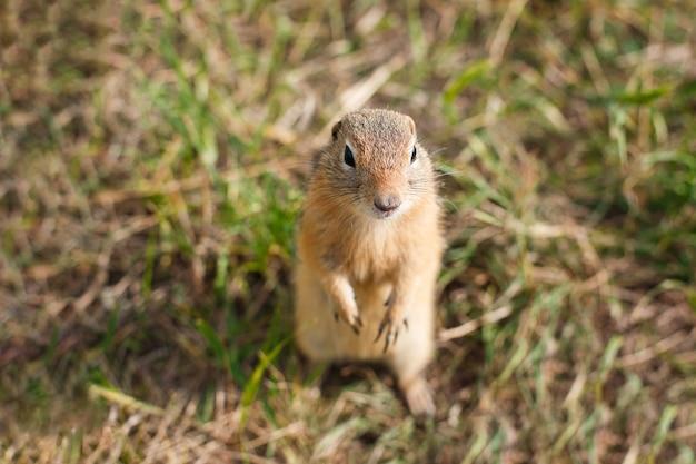 수평으로 잔디 필드에서 다람쥐