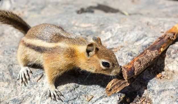 땅다람쥐는 나무 가지에서 냄새를 맡습니다.