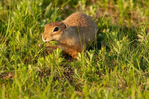 땅 다람쥐 spermophilus pygmaeus는 풀을 먹는다. 부지런한 사람.