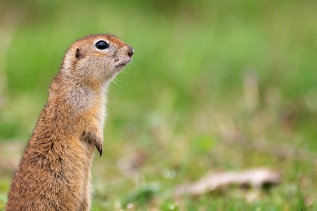잔디에 서있는 땅 다람쥐 spermophilus pygmaeus
