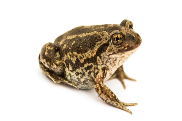 Ground toad isolated on a white surface