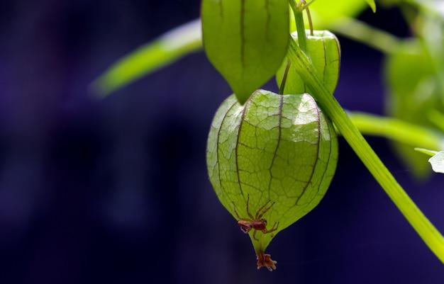 그라운드체리(physalis alkekengi), 인도네시아에서는 celukan 또는 ciplukan으로 알려져 있습니다.