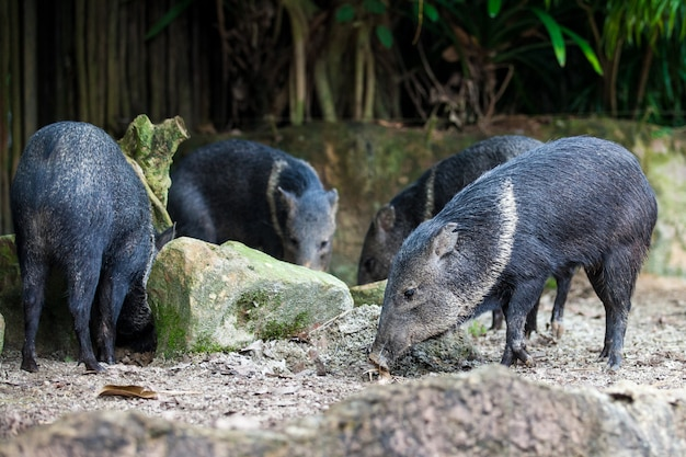 Group of 4 wild boars