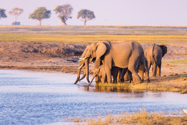 Group of african elephants drinking water from chobe river at sunset. chobe national park, namibia botswana border, africa.