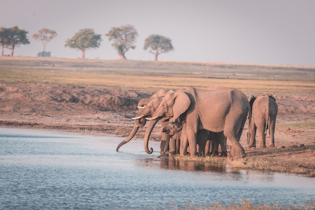 Group of african elephants drinking water from chobe river at sunset.