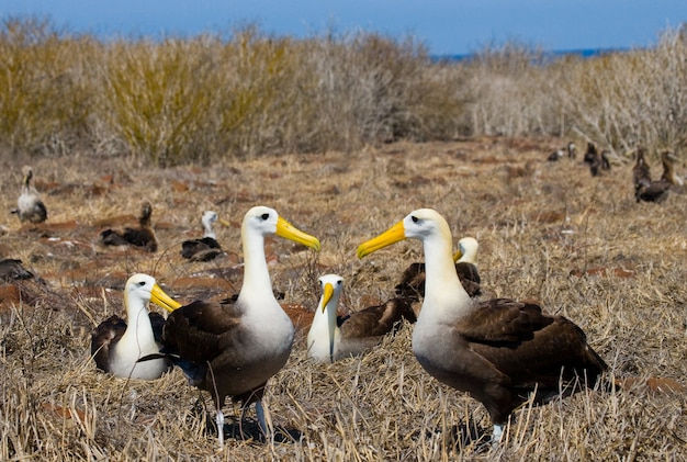 Group of albatross on the ground