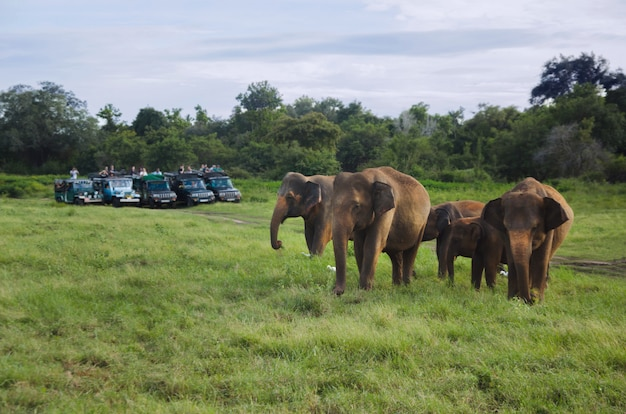 Group of asian elephants in sri lanka