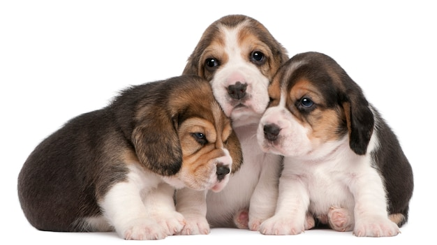 Group of beagle puppies, 4 weeks old