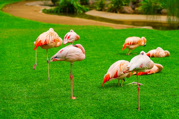 Group of beautiful flamingos sleeping on the grass in the park