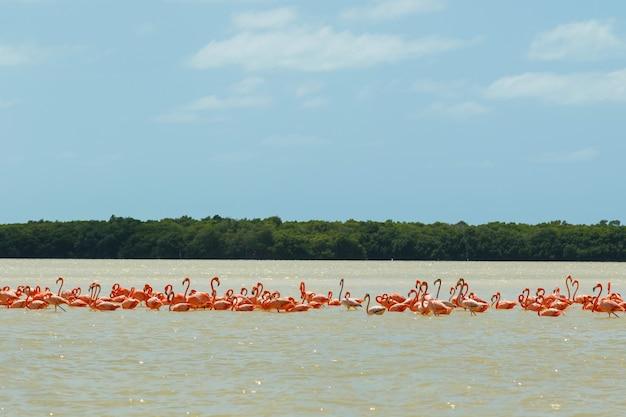 Group of beautiful pink flamingos in the celestun