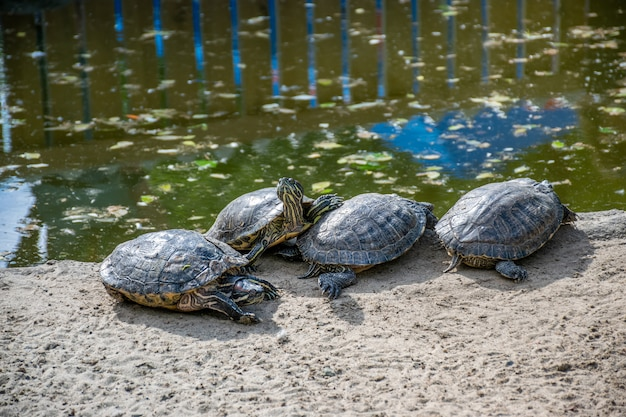 A group of beautiful turtles basks on the shore of the pond under the warm sunshine.