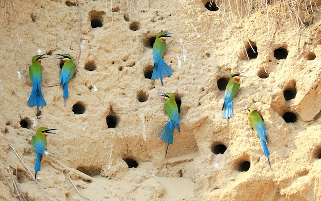 Group of blue tailed bee eater
