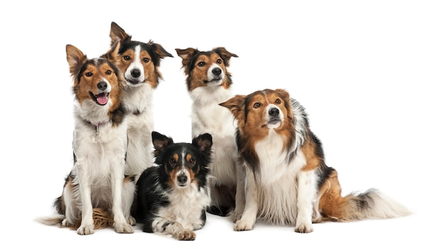 Group of border collies