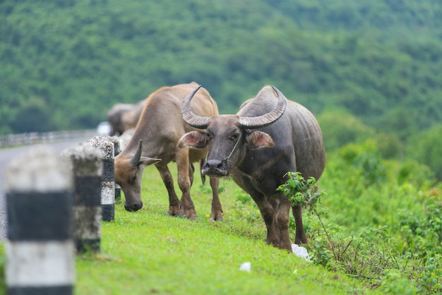 Group of buffalo in natural field, thailand
