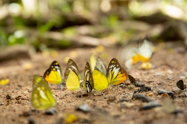 Group of butterflies puddling on the ground in national park.