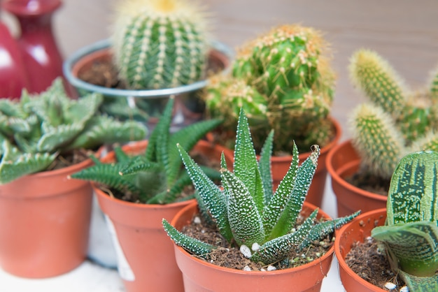 Group of cacti and succulents in small pots. plant growing, succulents theme.