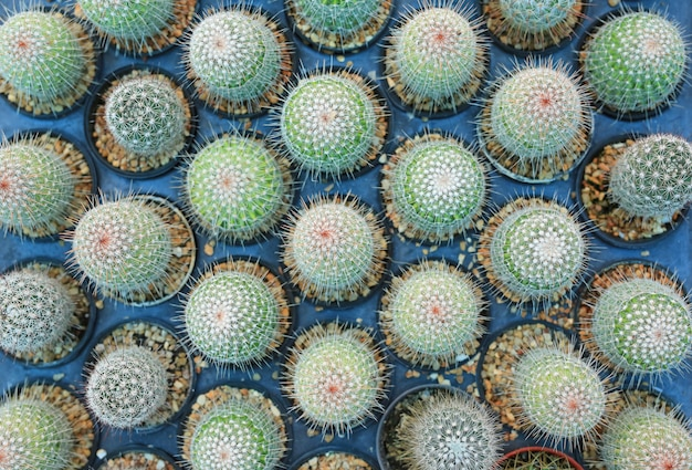 Group of cactus in greenhouse growing. top view.