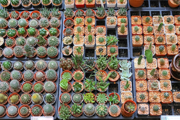 Group of cactus in greenhouse growing