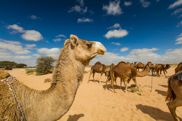 Group of camels eating grass in desert, in layoun morocco