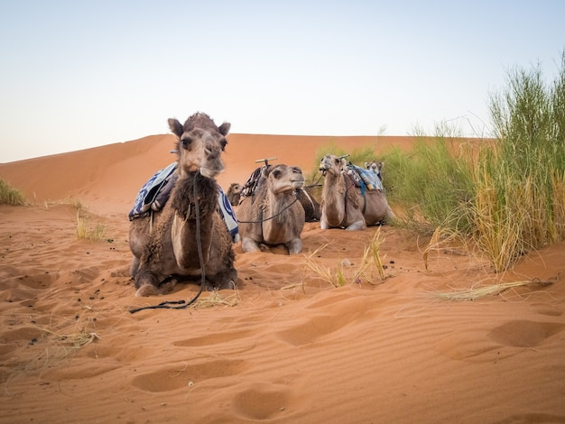 Group of camels sitting on the sand in the sahara desert surrounded by grass in morocco