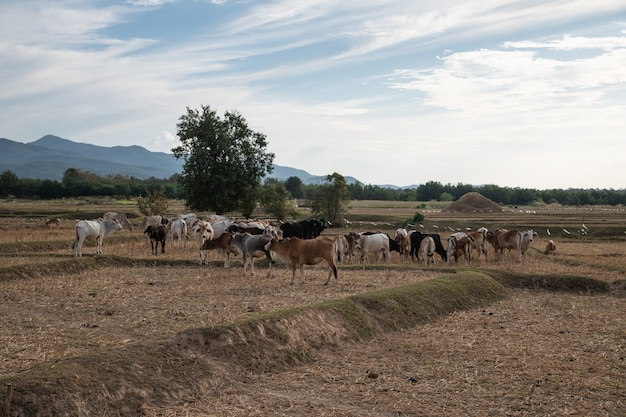 A group of cattle in the dry rice field, nan province, thailand