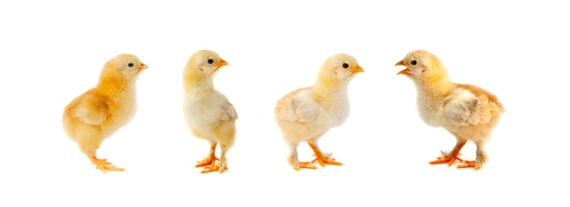 Group of chickens on white background