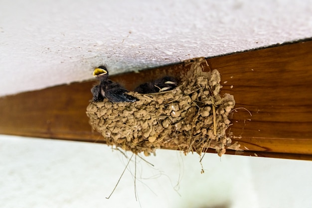 Group of chicks of swallows