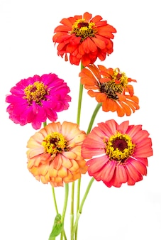 Group of colorful zinnia flowers