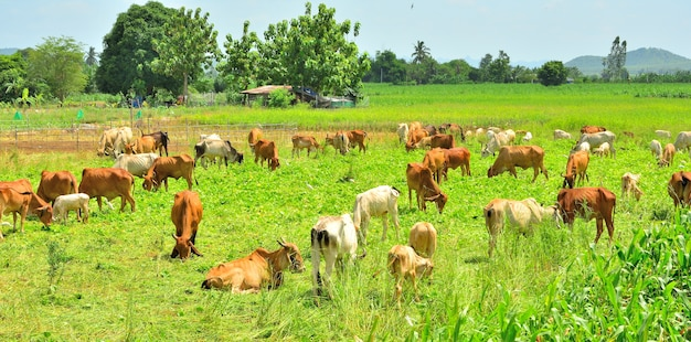 Group of cow herd is feeding grass in green field, tropical natural landscape in thailand