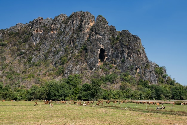 Group of cows chewing or eat grass near mountain in phetchaburi province, thailand
